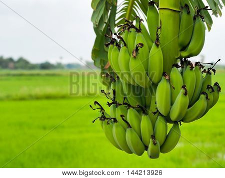 The raw banana plantations on the field.