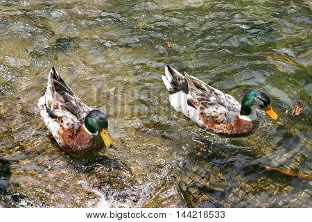 mallard ducks swim in the cristal river