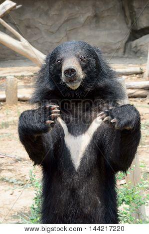 Asiatic black bear in Khon Kaen Zoo Thailand