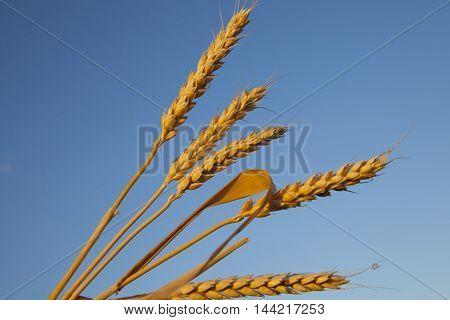 ripe ears of corn evening on the blue sky