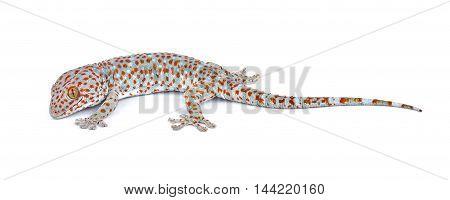 gecko isolated on white background animal lizard