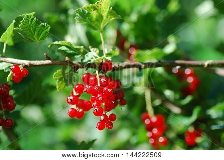 A branch with ripe sunlit red currants