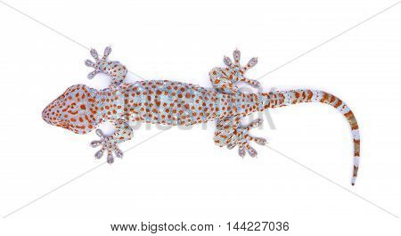 gecko isolated on white background animal lizard