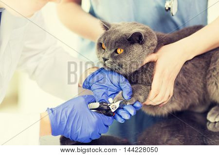 medicine, pet, animals, grooming and people concept - close up of veterinarian doctor with clipper cutting british cat nail at vet clinic