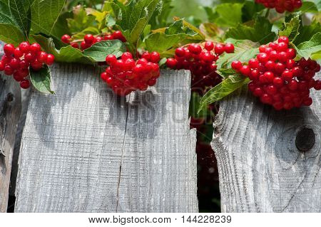 Bunch Of Guelder-rose Berries On Wooden Fence