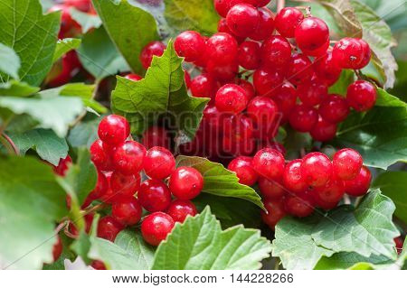 Bunch of guelder-rose(viburnum) berries on wood planks texture with sky as a background horizontal picture