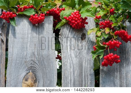 Bunch of guelder-rose(viburnum) berries on wood planks texture background horizontal picture space for text
