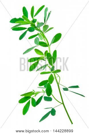 Medicinal plant: Melilotus officinalis (Yellow Sweet Clower)herb