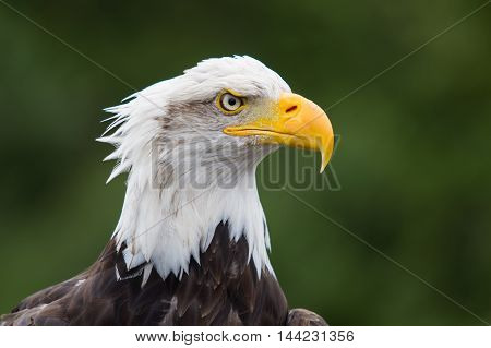 photo portrait of a majestic American Bald Eagle