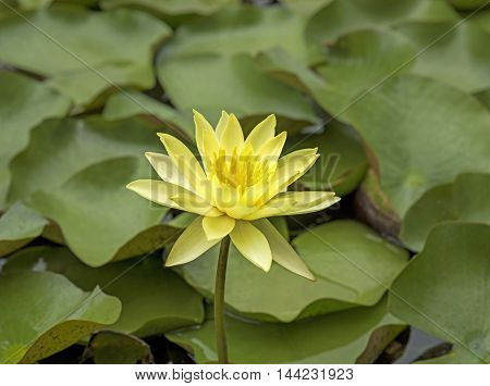 yellow lotus flower in the swamp plant