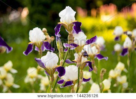 beautiful iris flowers growing in the flowerbed