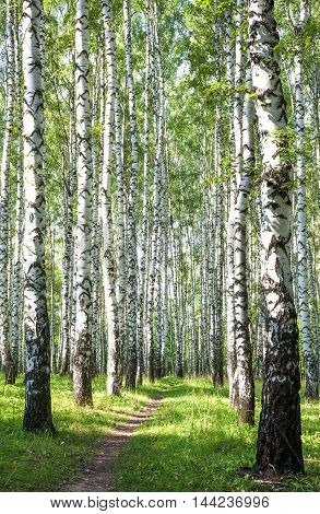 Sunny walkway with green birches in the summer forest