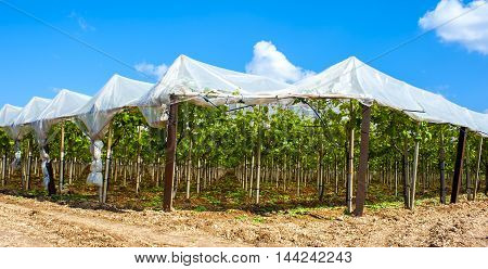 Vineyard in the countryside of Puglia. To protect the exquisite table grape vineyards are covered with PVC sheets.