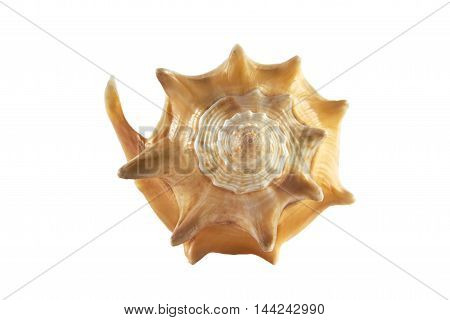 litle shell from the ocean isolated white background