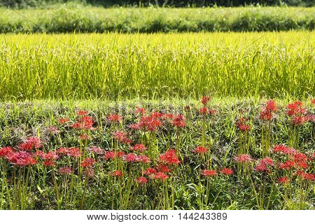 Scattered bloom red spider lily flowers in front of rice field
