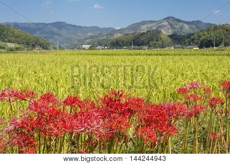 Lined red spider lily flowers in front of rice field and mountain