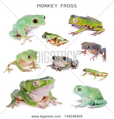 Set of Monkey Leaf Frogs isolated on white background