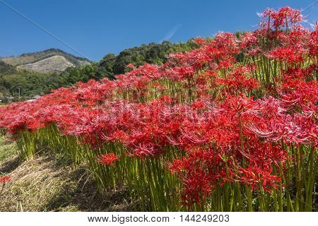 Red spider lily flowers colony under blue sky