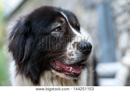 Close up portrait of a Bucovina shepherd dog