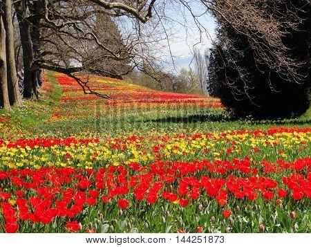 Tulip Field on the Island of Mainau in Konstanz Germany located on Lake Constance