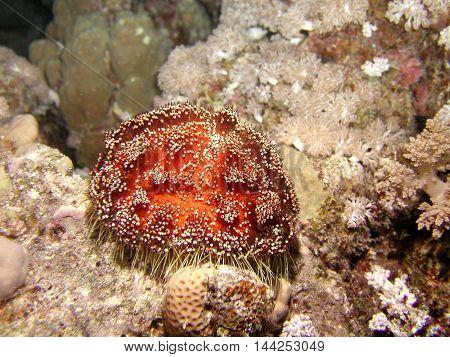 Sea urcin or chinus esculentus at 20 meters depth.