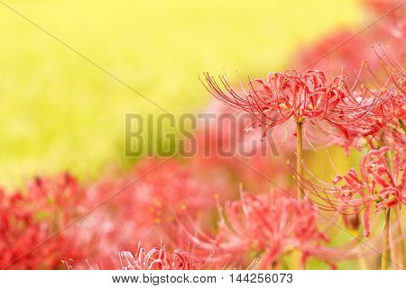 Red spider lily flower in front of red and yellow blurs