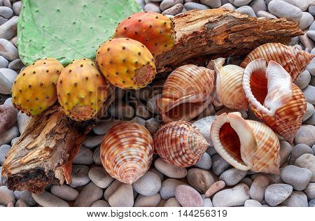 The fruit of the prickly pear cactus. At sea pebbles - seven big shells and a piece of wood. Still life. Greece.