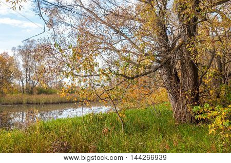 Autumn Swamp. Cane Grows In The Swamp