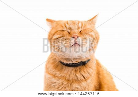 ginger red cat isolated on white background