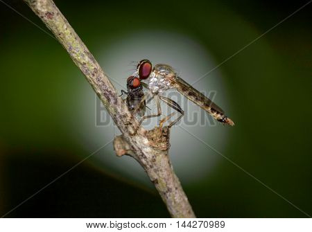 An robber fly catch flies into bite while perched on a twig.