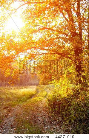 The road in the oak woods in autumn. Dirt road in a mixed forest on a sunny evening. Beautiful Fall scene on curved unpaved road with colorful leaves on trees and in the road