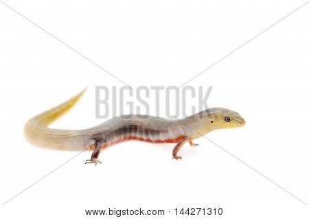 The Brazilian galliwasp, Diploglossus lessonae, isolated on white background