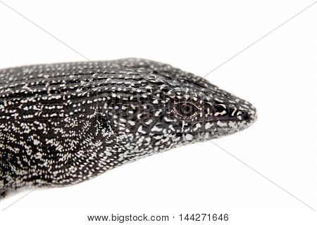 The dotted galliwasp or Malpelo galliwasp, Diploglossus millepunctatus, isolated on white