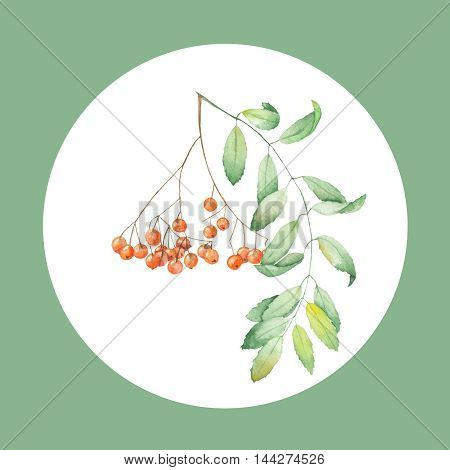 Watercolor illustration of a rowan on a white background in the circle