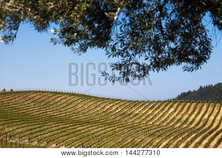 Rows of Napa vineyard on a sunny day with tree leaves in silhouette. Rolling hills of green Napa Valley California vines. Blue sky in wine country with tree leaves in soft focus in foreground.