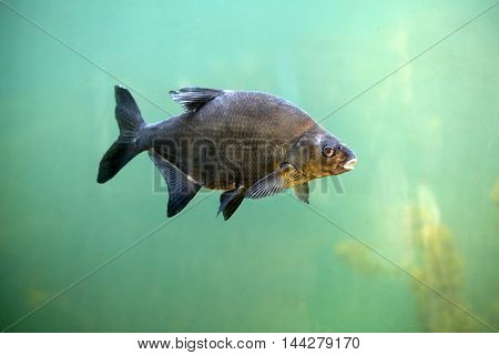 Bream occurs in almost all over Europe, it has a body strongly wygrzbiecone and laterally flattened, covered with large, easily removable scales. Mouth bottom, creates a distinctive extendable snout.