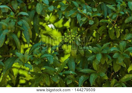 Plant with long green leaves and small berries