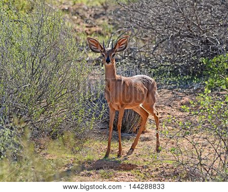 A Steenbok antelope in Southern African savanna
