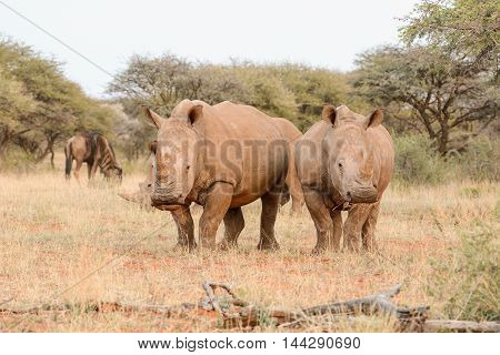 A group of White Rhinos grazing in Southern African savanna