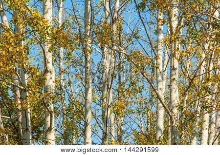 Texture, Background. Aspen Tree, The Top Of The Tree, The Tree Crown In The Fall