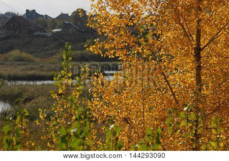 Poplar Autumn. A Tall, Fast-growing Tree Of North Temperate Regions, Widely Grown In Shelter Belts A