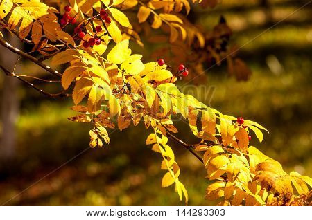 Autumn twig of rowanr, flora, beautiful, ash, rowanberry, ice,