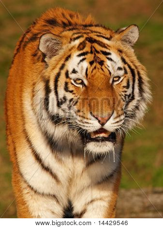 Portrait Of A Slobbering Siberian Tiger