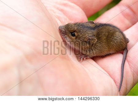 forest birch mouse (Sicista betulina) small on the palm of a person