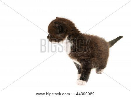 black white kitten isolated on white background