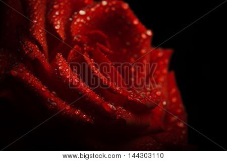 red rose bud macro drop. summer background
