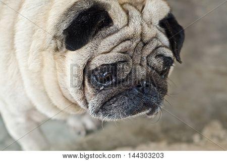 Cute Pug Lying, Pug With Sad Eyes.