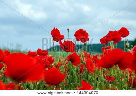 Field with red poppies and cloudy sky. Close-up