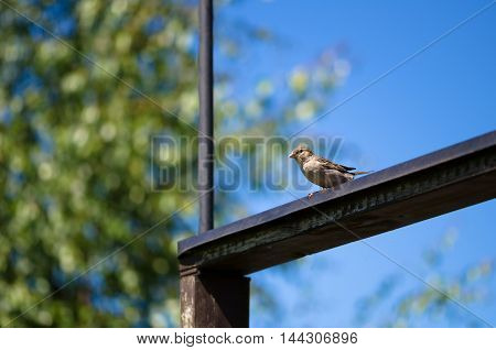 House sparrow sitting on a wooden beam.