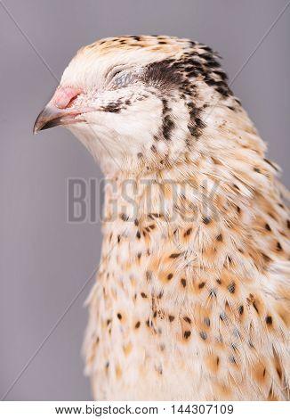 Asleep adult quail over grey background